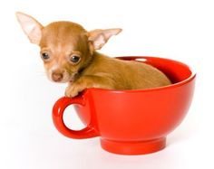 Miniature Teacup Chihuahua...Andrew and I WILL have one of these one day, and a great dane, and a mastiff...and Dyno :)