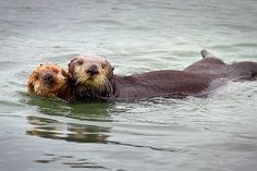 There are way more ways than any animal deserves that CA's sea otters just can't catch a break.