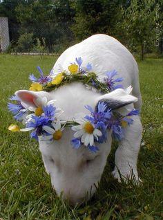 #Bullterrier #bullterror Such a cutie-pie!
