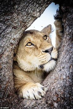 Entire lion pride hides up Tanzanian tree to escape from FLIES I Love Cats, Big Cats, Cool Cats, Cats And Kittens, Beautiful Cats, Animals Beautiful, Animals And Pets, Cute Animals, Nature Animals