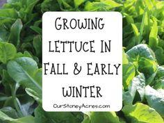 Everbearing Strawberries in your Backyard Garden - Our Stoney Acres Planting Garlic, Growing Lettuce, Growing Avocado, Planting Onions, Fall Vegetables, Planting Vegetables, Growing Vegetables, Vegetable Gardening, Amigurumi