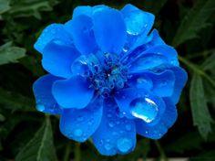 Clavel Azul.