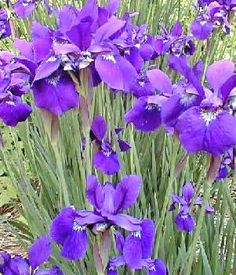 tips for care of my Chinese irises, including how to trim them back and prepare them for winter.