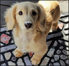 A real beauty Dachshund Breed, Long Haired Dachshund, Dachshund Love, Cream Dachshund, Cute Puppies, Cute Dogs, Dogs And Puppies, Animals And Pets, Baby Animals