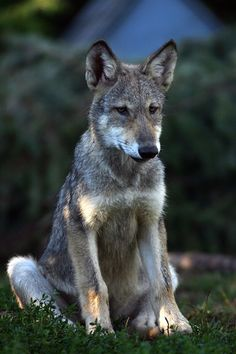 Awkward and limby, the perfect pup Wolf Photos, Wolf Pictures, Animal Pictures, Wolf Husky, Wolf Pup, Beautiful Creatures, Animals Beautiful, Cute Animals, Wild Animals