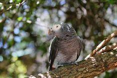 Jako, tarih boyunca birçok kıtada, birçok statüde ve Portekiz denizcilerinin favorisi olarak denizlerde bulunmuş bir papağandır. Jako namı diğer Afrika Gri Papağanı ülkemizde herkesin kalbini 90'ların en popüler ve hala daha sevgiyle hatırlanan Bizimkiler dizindeki Kapıcı Cafer'in papağanı Maşuk olarak çalmıştır. Bu masum görünüşlü ve zeki papağanların yanında ağzınızdan çıkanlara dikkat etmek isteyebilirsiniz. Duydukları kelimeleri […] The post Jako / Afrika Gri Papağanı appeared first on Parrot, Bird, Animals, Parrot Bird, Animales, Animaux, Birds, Animal, Animais