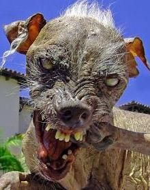 This is Sam, who won the World's Ugliest Dog contest 3 years in a row (Yes, he is blind) 11 Quirky Facts About the Chinese Crested | Mental Floss