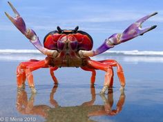 Halloween Moon Crab is listed (or ranked) 26 on the list Stunning Oceanic Invertebrates That Deserve A Closer Look Underwater Creatures, Underwater Life, Ocean Creatures, Underwater Photos, Costa Rica, Halloween Crab, Beautiful Creatures, Animals Beautiful, Beautiful Fish