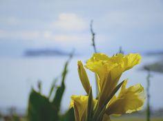 . 展望 - Perspective . 夕暮れの江ノ島と稲村ガ崎に咲いていた水仙 . 水仙は冬の花ではないかと思うのですが曇り空でしたがキレイでした . Narcissus & Enoshima Island in the evening . #稲村ヶ崎 #江ノ島 #花  #flowers #inamuragasaki #enoshima  #IGersJP#icu_japan#tokyocameraclub . #whim_life#jp_gallery#IG_JAPAN#wu_japan#japan_daytime_view#IG_JAPAN #wu_japan  #ifyouleave#unsquares#rsa_social#reco_ig#indies_gram#Far_EastPhotoGraphy#as_archive  #japan_of_insta #chigasaki_photo