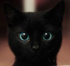 Blue eyes, black cat, cute pet.