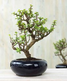 birkenfeige ficus benjamini als bonsai baum bonsai pinterest ficus bonsai and indoor bonsai. Black Bedroom Furniture Sets. Home Design Ideas