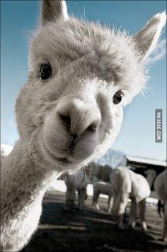llama hahaha its so cute
