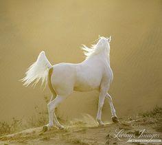 #horses  Desert Arabian at sunset