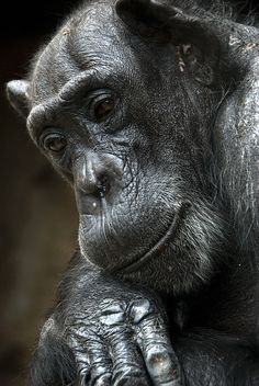 Chimpanzee | by urbanmenagerie