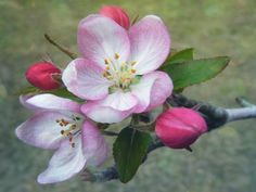 Apple Blossoms  by *NicoleNamias #   Photography / Animals, Plants & Nature / Flowers, Trees & Plants