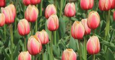 No nos gustan, nos encantan, así que no nos podemos resistir a mostraros cómo cultivarlos en casa. ¡Pon tulipanes en tu jardín y en tu vida!