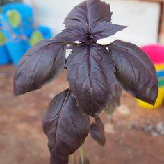 バジル色々 : sola og planta ハーブとお花のお庭日記『ダークオパールバジル』