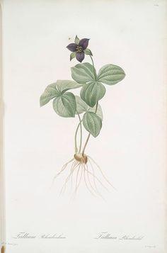 Trillium rhomboideum, Pierre-Joseph Redouté (1759-1840)