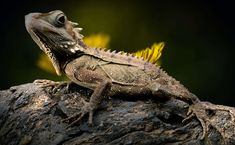 #animal world #australia #close #dandelion #endangered #forest dragon #lizard #nature #reptile #types of die