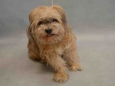 I AM SAFE THANK YOU PET'S ON DEATH ROW ***NEEDS NEW HOPE PLACEMENT AND VET CARE BY 6PM TOMORROW (03/16/16)*** SUPER URGENT 03/24/16. MOLLY SUE – A1067517  ***NEEDS NEW HOPE PLACEMENT AND VET CARE BY 6PM TOMORROW (03/16/16)***  FEMALE, TAN / BROWN, SHIH TZU, 12 yrs STRAY – STRAY WAIT, NO HOLD Reason STRAY Intake condition GERIATRIC Intake Date 03/13/2016, From NY 10455, DueOut Date 03/16/2016
