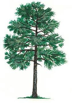 Long leaf Pine Alabama State Tree