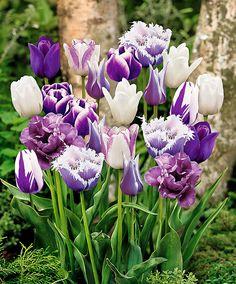 tulpaner rabatt 10 Purple mixed blend of color/varieties Tulip Bulbs **FALL PLANTING Bulb Flowers, Tulips Flowers, Daffodils, Pretty Flowers, Spring Flowers, Garden Bulbs, Garden Plants, Growing Flowers, Planting Flowers