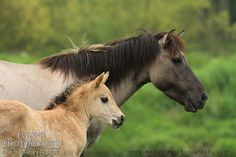 Equine Photography - Karolina Wengerek Konik horses in Milicz, Poland