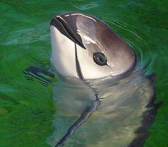 Vaquita (Phocoena Sinus) raro cetáceo - tipo de golfinho endêmico do Golfo da Califórnia.