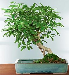 The Hawaiian Umbrella Tree-  is the easiest to grow and lowest maintenance of any of the indoor bonsai. Hawaiian Umbrellas do very well in any light environment $29.99- $59.99