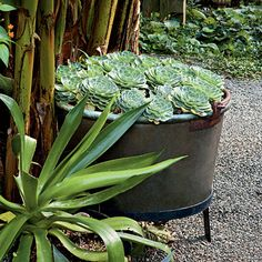 Spectacular Container Gardens: Hens and Chicks < Spectacular Container Gardening Ideas - Southern Living Mobile Outdoor Gardens, Container Gardening, Container Plants, Planters, Garden, Garden Pots, Succulents, Plants, Succulents In Containers