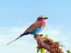 Free photo: Lilac Breasted Roller, Bird - Free Image on Pixabay ...