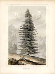 Instant Art Printable - Glorious Giant Christmas Tree - Botanical - The Graphics Fairy Farmhouse Winter Antique Prints, Vintage Prints, Art Vintage, Art Antique, Vintage Ephemera, Vintage Images, Botanical Flowers, Botanical Prints, Flower Prints