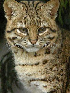 Kodkod (Leopardus guigna syn. Oncifelis guigna) It's a small and very rare, South America.