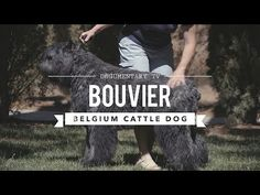 ALL ABOUT LIVING WITH BOUVIER DES FLANDRES - YouTube