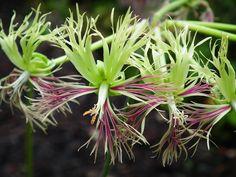 Pelargonium schizopetalum (flower close up) (Pelargonium schizopetalum)