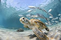www.piyogapants.com #piyogapants Sea Turtle Facts, Ocean Ecosystem, Save The Sea Turtles, Turtle Conservation, Caribbean Vacations, Discovery Channel, Freshwater Aquarium, Aquarium Fish, Whales