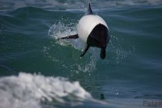 Airborne Commerson's dolphin, Cephalorhynchus commersonii... more about them at http://marinebio.org/species.asp?id=349