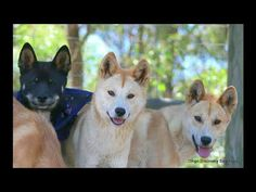 Dingo Lady: Dingoes Are NOT Dogs