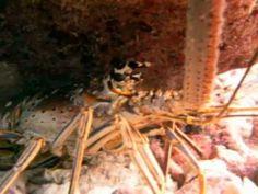 Good Tropical Lobster Dive Video Scuba Diving Key West Florida - http://www.florida-scubadiving.com/florida-scuba-diving/good-tropical-lobster-dive-video-scuba-diving-key-west-florida/