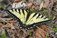 Tiger swallowtails are the state insect of Virginia  at Smith Mountain Lake State Park, Virginia