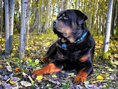 #Rottweiler #dog Rottweiler Breed, Animal Games, Rottweilers, Its A Wonderful Life, Big Dogs, Labs, Labrador Retriever, Kittens, Passion