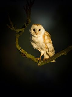 featheroftheowl:  Barn Owl by Keith Prescott