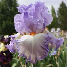 TB Iris germanica 'Say Goodbye' (Hager, 2004)