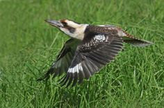 A bright-eyed Laughing Kookaburra flying is caught mid-flap!