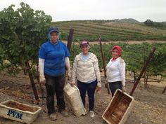 First #Pinot pick of #sonomaharvest2013 went very smoothly. Probably due to an almost all woman crew!  @InmanFamilyWines