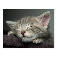 Shop Sleepy Kitten Postcard created by cutestbabyanimals. Cute Funny Animals, Cute Cats, Funny Cats, Kittens Cutest, Cats And Kittens, Cats Bus, Siamese Cats, Sleepy Kitten, Gatos