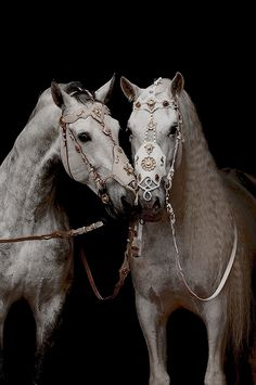 a pair of white horses with golden bridles All The Pretty Horses, Beautiful Horses, Animals Beautiful, Cute Animals, Zebras, Andalusian Horse, Arabian Horses, Arabian Horse Costume, Majestic Horse