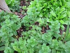 What Can You Use Mint Leaves for? thumbnail