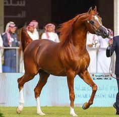 Stunning Chestnut Arabian.   Wish the original pinner had posted this beauty's name/pedigree