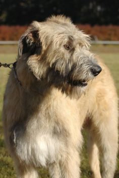 Irish wolfhound / Scottish Deerhound. These two dog breeds are huge. Standing on their hind legs stand up to 7 feet tall. I'd love to get the Irish wolfhound. It would be great for me since I'm a shortie.